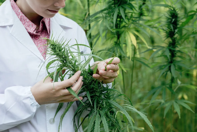 Australia's largest medicinal cannabis grower is packing its bags and moving to the US