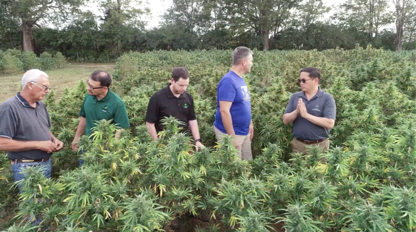 Inspecting the hemp crop